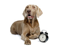 Dog and alarm clock Royalty Free Stock Photo