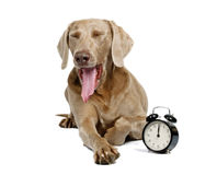 Dog and alarm clock Royalty Free Stock Images