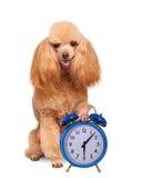 Dog with alarm clock Royalty Free Stock Image