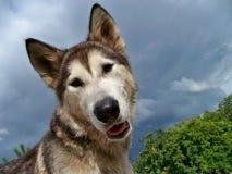 Dog Alaskan Malamute Bonita. Cute dog Alaskan Malamute Bonita turned her head Stock Photography