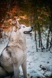 Dog is an Alaskan malamute royalty free stock images