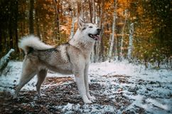 Dog is an Alaskan malamute. My dog is an Alaskan malamute. n royalty free stock image