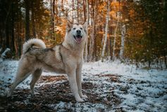 Dog is an Alaskan malamute stock images