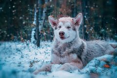 Dog is an Alaskan malamute stock photo