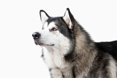 Dog. Alaskan Malamute on white background Stock Photos