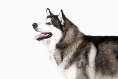 Dog. Alaskan Malamute on white background Royalty Free Stock Images