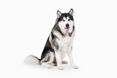 Dog. Alaskan Malamute on white background Stock Photos