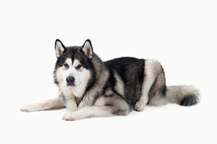 Dog. Alaskan Malamute on white background Royalty Free Stock Photography
