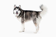 Dog. Alaskan Malamute on white background Stock Photo