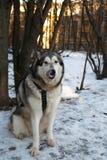 Dog Alaskan Malamute Stock Photo