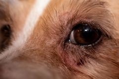 Dog allergy itchy eyes skin and fur disease. Closeup scratches. royalty free stock image
