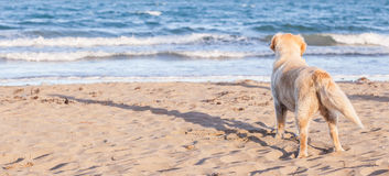 The dog alone on the beach sand looking out to sea. Royalty Free Stock Photos