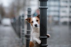 Dog in city in the rain. Jack Russell Terrier in Europe. Dog is alone in the city at the rain. Jack Russell Terrier in Europe. pet in town royalty free stock photography