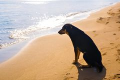 Dog alone on smooth wet beach sand looking out to sea Royalty Free Stock Photography