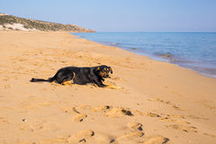 Dog alone on smooth wet beach sand looking out to sea Stock Photos