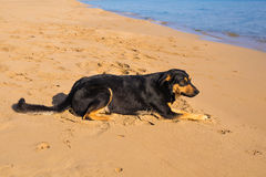 Dog alone on smooth wet beach sand looking out to sea Royalty Free Stock Image