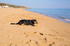 Dog alone on smooth wet beach sand looking out to sea Royalty Free Stock Photos