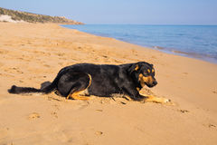 Dog alone on smooth wet beach sand looking out to sea Stock Image