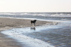 Dog along the shore-line at Ameland Island, Holland Stock Images