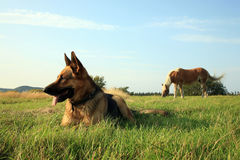 Dog - Alsatian royalty free stock photography
