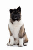 Dog. American Akita puppy of white background Royalty Free Stock Photos