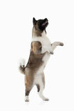 Dog. American Akita puppy of white background Royalty Free Stock Image