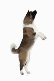 Dog. American Akita puppy of white background Stock Photos