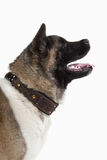 Dog. American Akita puppy of white background Royalty Free Stock Photography