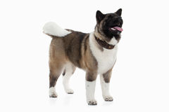 Dog. American Akita puppy of white background Stock Image