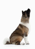 Dog. American Akita puppy of white background Royalty Free Stock Photo