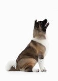 Dog. American Akita puppy of white background Stock Photo
