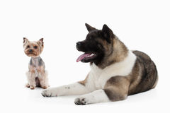 Dog. American Akita puppy and Yorksjire terrier of white backgro Royalty Free Stock Photography