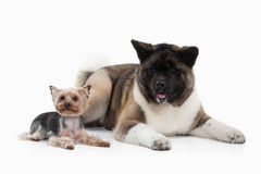 Dog. American Akita puppy and Yorksjire terrier of white backgro Royalty Free Stock Photos