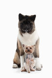Dog. American Akita puppy and Yorksjire terrier of white backgro Stock Images