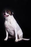 Dog american bulldog on black background Royalty Free Stock Images