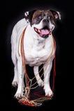 Dog american bulldog on black background Royalty Free Stock Image