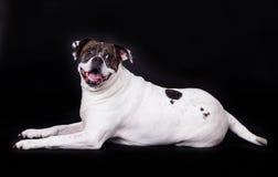 Dog american bulldog on black background Royalty Free Stock Photo