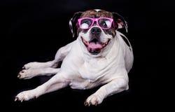 Dog american bulldog on black background glasses hair Stock Photo