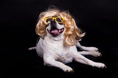 Dog american bulldog on black background glasses hair Stock Photos