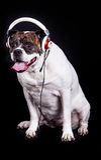 Dog american bulldog on black background headset listening to music Stock Photos