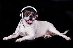 Dog american bulldog on black background headset listening to music Stock Photography