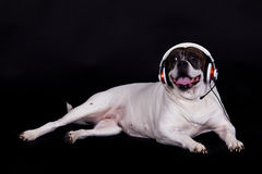 Dog american bulldog on black background headset listening to music Royalty Free Stock Images