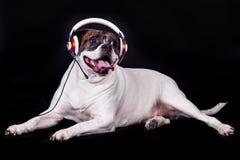Dog american bulldog on black background music concept Stock Photo