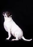 Dog american bulldog on black background pet Stock Photos