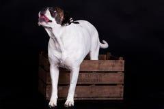 dog american bulldog on black background wood box Royalty Free Stock Photography