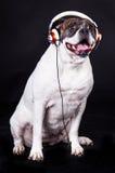 Dog american bulldog and headset on black background Royalty Free Stock Image