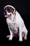 Dog american bulldog and headset on black background Stock Photo