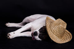 Dog american bulldog with Mexican hat  on black background Royalty Free Stock Image
