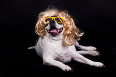 Free Dog American Bulldog On Black Background Glasses Hair Stock Photos - 53399693