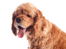 Dog american cocker spaniel, isolated Stock Image